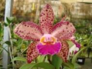 Brassolaeliocattleya Durigan