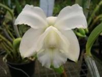 Cattleya loddigesii